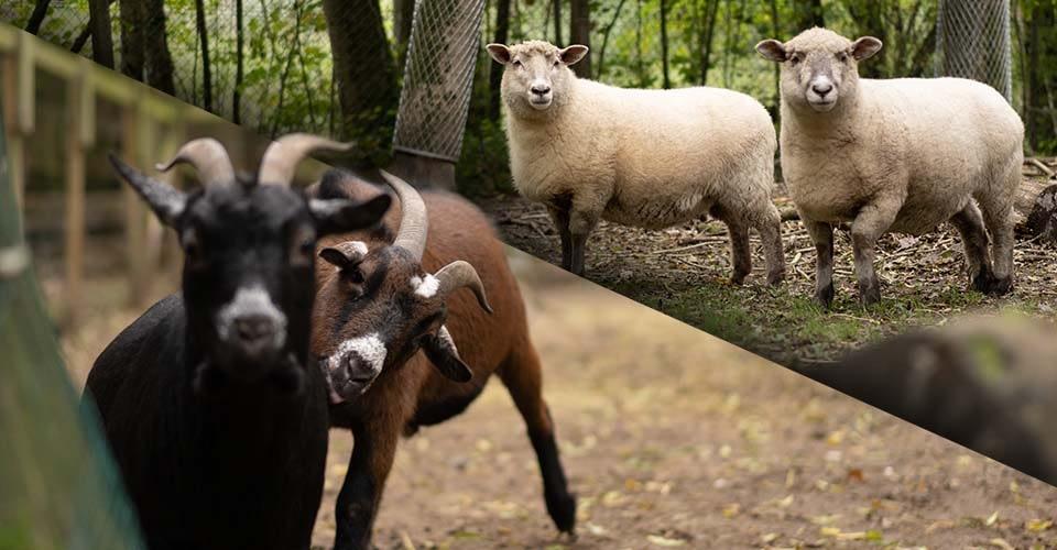 nos chevres et moutons